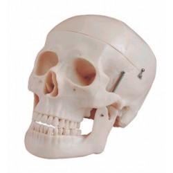 Cráneo Anatómico Natural